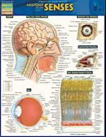 Anatomy of the Senses