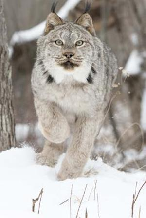 Bog, paperback Canadian Lynx on the Move Journal af Cool Image