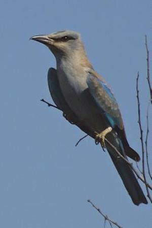 Bog, paperback European Roller (Coracias Garrulus) Bird Journal af Cool Image