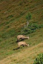 Chamois Grazing in the Tatras Mountains in Poland Journal