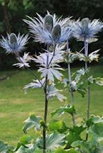 Silver Thistle Highland Flowering Plant in Scotland Journal