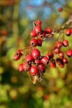 Red Hawthorn Berries Journal