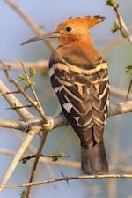 African Hoopoe Bird Journal