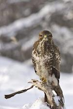 Buzzard on a Branch Bird Journal
