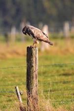 Buzzard on a Fence Post Bird Journal