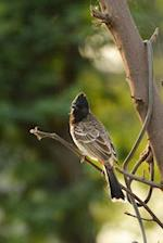 Common Bulbul (Pycnonotus Barbatus) Bird Journal