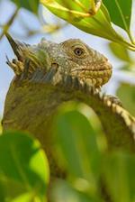 Lesser Antilliean Iguana in a Tree Journal
