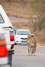 Lioness with Cub in Traffic in South Africa Journal