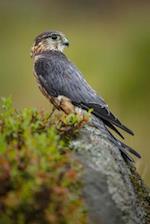 Merlin in the Moors - A Bird Journal