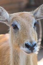 Say Hello to the Sambar Deer Journal