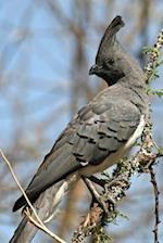 White-Bellied Go-Away Bird (Corythaixoids Leucogaster) Journal
