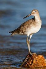 Willet on a Rock in Florida Bird Journal