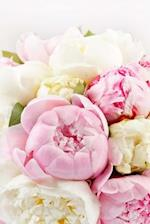 Gorgeous Pink and White Peonies in Full Bloom Flower Journal