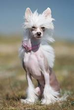 White Chinese Crested Thinks It's Too Early for Pictures Dog Journal