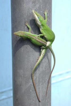 Bog, paperback Anole Lizard in Mating Ritual Journal af Cool Image