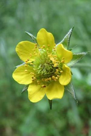 Bog, paperback Geum Urbanum Wood Avens Herb Bennet Blooming Flower af Unique Journal
