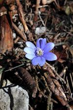 Beautiful Liverwort Flower in Spring Journal