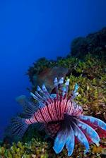 Lionfish (Pterois) Near Coral in the Caribbean Sea Cayo Largo Cuba Journal