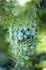 Juniper Berries Journal