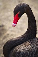 A Black Swan ( Cygnus Atratus) Portrait Journal