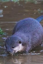 An Oriental Small-Clawed Otter ( Amblonyx Cinereus)Journal