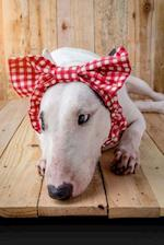 English Bull Terrier Hates the Dumb Bow Journal