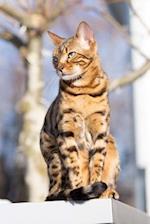 Bengal Cat Enjoying the Sunshine Journal