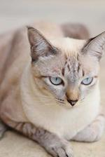 Gorgeous Lilac Point Siamese Cat Journal