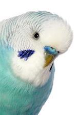 Pretty Bird! Portrait of a Budgerigar Bird Journal