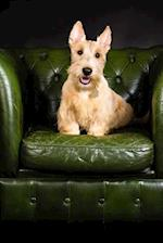 Wheaten Scottish Terrier on a Green Leather Chair Dog Journal