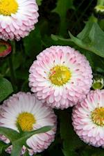 Pink and Yellow English Daisies Lawn Daisies (Bellis Perennis) Flower Journal