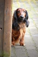 Curious Blonde Long-Haired Dachshund Outside in the Spring Journal
