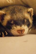 A Napping Ferret (Mustela Putorius Furo) Animal Journal