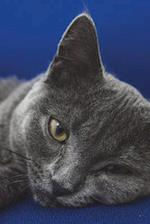 Blue British Shorthair Cat Prepares to Attack Journal