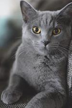 Gray or Grey British Shorthair Cat Portrait Journal