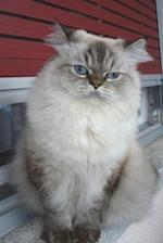 Persian Cat Plotting World Domination Journal