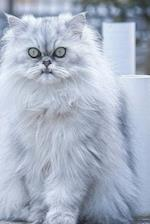 Persian Cat Says, What Are You Looking At? Journal