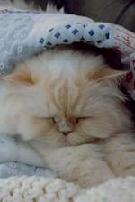 Sleeping Persian Cat Journal