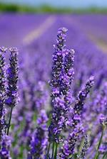 Purple Lavender Flower Fields in Oregon USA Journal