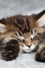 Sleeping Maine Coon Kitten