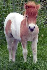 Cutest Shetland Pony Foal Horse Journal