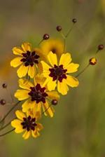 Yellow and Burgundy Plains Coreopsis Wildflowers Journal