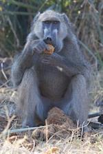 Chacma Baboon Eating Marula Fruit in Botswana Journal