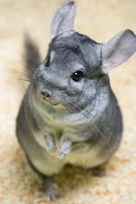 A Darling Little Gray Chinchilla Animal Journal