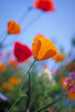 Bright Colorful Poppy Flowers Balboa Park San Diego California USA Journal
