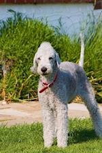 Cutest Bedlington Terrier Standing on Heathland in Heather Dog Journal