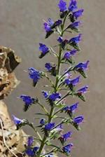 Beautiful True-Blue Flowers of the Italian Bugloss Blossoming in the Summer Journal