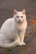 A Gorgeous White Cat Sitting on the Pier Journal