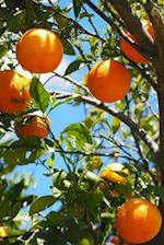A View of Oranges Hanging on a Tree at Sunset in Israel Journal