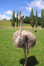 A Charming Ostrich Standing in the Grass Journal